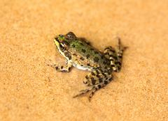 big green frog sit on wet sand - stock photo