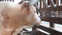 Bulls, Steer, Cattle, Farm Animals, 2D, 3D - stock footage