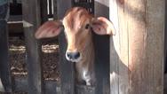 Stock Video Footage of Calf, Calves, Baby Cows, 2D, 3D