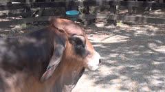 Brahman Zebu Cattle, Humped, 2D, 3D Stock Footage