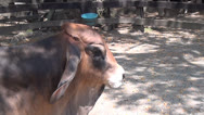 Stock Video Footage of Brahman Zebu Cattle, Humped, 2D, 3D