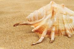 Giant spider conch shell on the sand Stock Photos