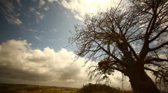 Baobab Tree in Brazil HD Video Stock Footage
