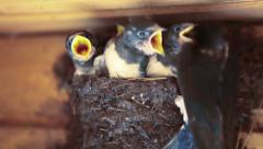 Swallow feeding chicks in the nest. Stock Footage