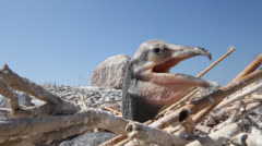 Chick of a cormorant cooling breath in the hot afternoon Stock Footage