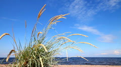 Lyme grass (Elytnus) on a beach sea, good sunny weather Stock Footage
