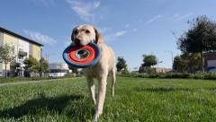 Labrador Retriever Dog Playing Frisbee Stock Footage