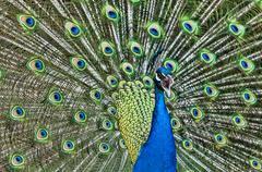Screaming peacock Stock Photos