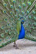 screaming peacock - stock photo