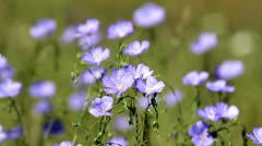 Wild flowers in the wind Asian Flax (Linum austriacum) - stock footage