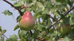 European Pear branch with fruit Stock Footage