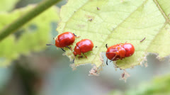 Lily beetles Stock Footage
