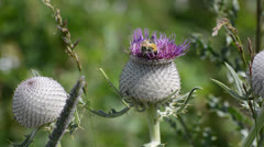 Two bumble bees sitting at the nice thistle Stock Footage