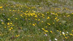 The flowering meadow by the summer wind Stock Footage