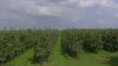 Row of pear trees in orchard + zoom in Stock Footage