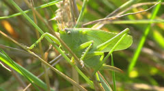 Close up Great green bush-cricket in grass + jumps off Stock Footage