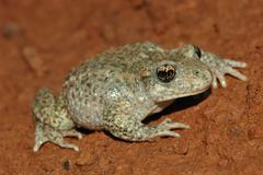 Common midwife toad (alytes obstetricans) Stock Photos