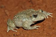 Stock Photo of common midwife toad (alytes obstetricans)