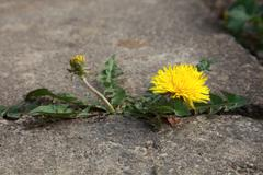 concept strength dandelion - stock photo