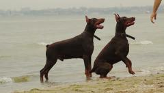 Happy Dogs Playing at the Sea Stock Footage