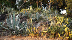 Flowering succulents and cacti in south France Stock Footage