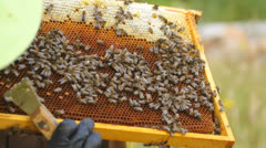 Beekeeper carefully inspects a honeycomb, looking at honey bees and their brood Stock Footage
