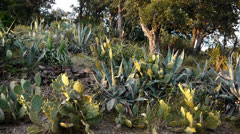 Flowering aloe vera, succulents and cacti in south France - stock footage