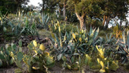 Stock Video Footage of Flowering aloe vera, succulents and cacti in south France