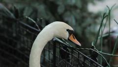 Swan and Cell Stock Footage