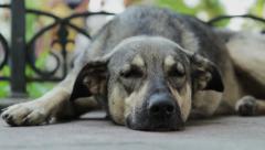 Big Dog Sleeping and Than Wake Up Stock Footage