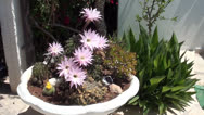 Stock Video Footage of Flowering cacti in garden pot