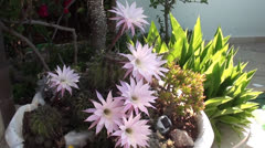 Flowering cactus at the garden Stock Footage