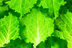 fresh lettuce /  green leaves background / makro - stock photo