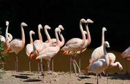 Stock Photo of flamingos