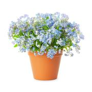 Stock Photo of forget-me-not flowers in pot isolated on white background