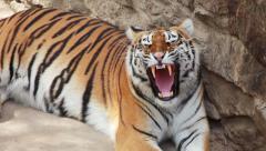 tiger wants to sleep - stock footage