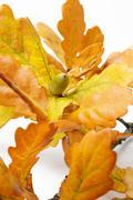 autumn oak leaves with acorn - stock photo