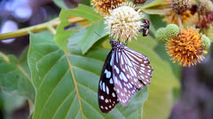 Butterfly  sucking nectar Stock Footage