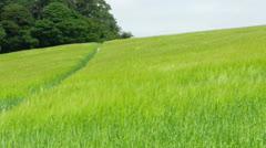 Barley field in Dorset Stock Footage