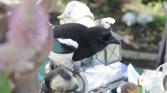 Blue Jay Bird Flying Stock Footage