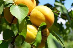 Orange apricots on a tree branch Stock Photos