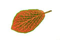 fittonia ( mosaic plant ) - stock photo