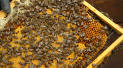 Honey bees with brood close-up in a honeycomb held in the hands Stock Footage