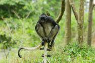 Stock Photo of endangered spider monkey