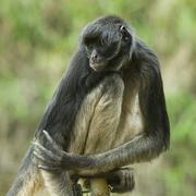 Stock Photo of Endangered Spider Monkey Sitting On An Electric Fence