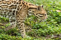 Ocelot Leopardus Pardalis Stalking In The Dense Amazonian Forest - stock photo
