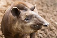 Stock Photo of south american tapir tapirus terrestris