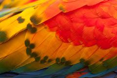 Close Up Shot Of An Ara Macaw Feathers Stock Photos