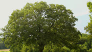 Stock Video Footage of large old oak tree