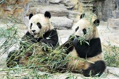 Panda bears in beijing china Stock Photos